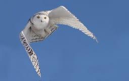 Snowy Owl (Bubo scandiacus) stock photos