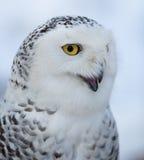 Snowy owl (Bubo scandiacus) Royalty Free Stock Image
