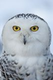 Snowy owl (Bubo scandiacus) Royalty Free Stock Images