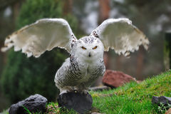 Snowy Owl (Bubo scandiacus). This yellow-eyed, black billed white Snowy Owl (Bubo scandiacus) is easily recognizable. It is 53-65 cm long with a 125-150 cm Stock Photography