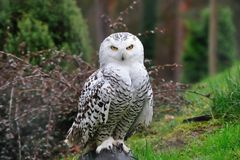 Snowy Owl (Bubo scandiacus). This yellow-eyed, black billed white Snowy Owl (Bubo scandiacus) is easily recognizable. It is 53-65 cm long with a 125-150 cm Royalty Free Stock Photo
