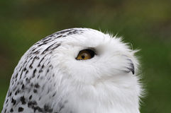 Snowy Owl (Bubo scandiacus ) Royalty Free Stock Photography