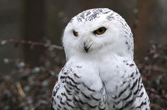 Snowy Owl (Bubo scandiacus ) Royalty Free Stock Images