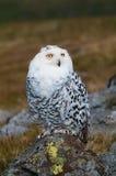 Snowy Owl (Bubo scandiacus) Stock Photography