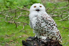 Snowy Owl (Bubo scandiacus) Royalty Free Stock Photo