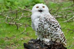 Snowy Owl (Bubo scandiacus) Royalty Free Stock Photo