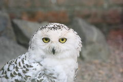 Snowy owl, Bubo Scandiacus Royalty Free Stock Images