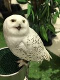Snowy owl. Bubo scandiacus or Snowy owl Stock Photography