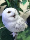 Snowy owl. Bubo scandiacus or Snowy owl Royalty Free Stock Photos