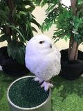 Snowy owl. Bubo scandiacus or Snowy owl Royalty Free Stock Photo
