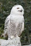 Snowy Owl (Bubo scandiacus) Royalty Free Stock Photos