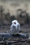 Snowy Owl Stock Photos