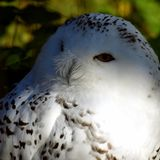 Snowy owl Bubo scandiacus Royalty Free Stock Photography