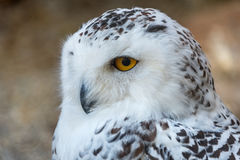 Snowy owl Bubo scandiacus close up Stock Images