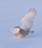 Snowy owl (Bubo scandiacus) isolated against a blue background coming in for the kill on a snow covered field in Canada stock photo