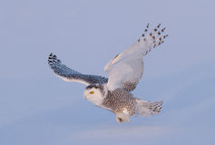 Snowy owl in flight in winter. Snowy owl Bubo scandiacus coming in for the kill over a snow covered field Stock Photos