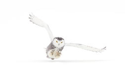Snowy owl in flight in winter Royalty Free Stock Photography
