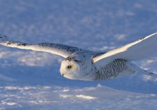 A Snowy owl Bubo scandiacus coming in for the kill at sunset over a snow covered field in Canada Stock Images