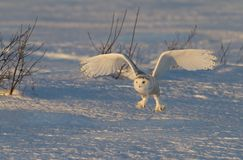A Snowy owl Bubo scandiacus coming in for the kill at sunset over a snow covered field in Canada Stock Photo