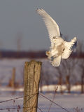 Snowy owl. Bubo scandiacus coming in for a landing in winter Royalty Free Stock Photography