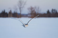 Snowy owl in flight in winter Stock Photo