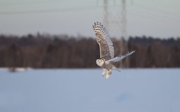 Snowy owl in flight in winter Stock Photography