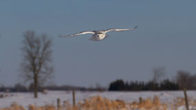 Snowy owl in flight in winter Royalty Free Stock Photos