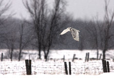 A snowy owl flies over farmland in winter Stock Image