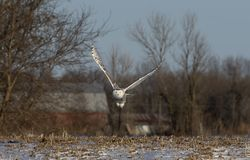 A Snowy owl Bubo scandiacus flying low and hunting over a snow covered field in Canada Royalty Free Stock Photos
