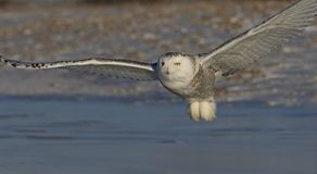 A Snowy owl Bubo scandiacus flying low and hunting over a snow covered field in Canada Royalty Free Stock Photo