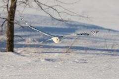 Snowy Owl Flying Low Over a Snowy Field. Snowy owl bubo scandiacus flying low over a snow-covered field with wings outstretched and eyes locked on its prey Royalty Free Stock Photo
