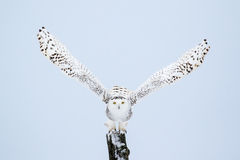 Snowy Owl, Bubo Scandiacus Royalty Free Stock Image