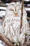 Snowy Owl - Bubo scandiacus Stock Photography