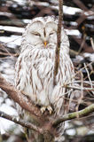 Snowy Owl - Bubo scandiacus Royalty Free Stock Images