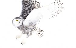 A Snowy owl Bubo scandiacus hunting over an open snowy field in Canada. Snowy owl Bubo scandiacus hunting over an open snowy field in Canada Royalty Free Stock Image