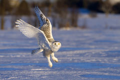 Snowy owl (Bubo scandiacus) takes flight to hunt over a snow covered field in Canada royalty free stock image