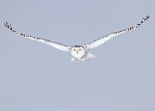 Snowy owl (Bubo scandiacus) isolated against a blue background hunting over an open snowy field in Canada stock image