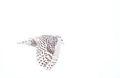 Snowy owl in flight in winter. Snowy owl Bubo scandiacus hunting over a snow covered field Royalty Free Stock Photography