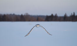 Snowy owl in flight in winter Royalty Free Stock Images