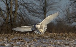 A Snowy owl Bubo scandiacus hunting over a snow covered field in Canada. Snowy owl Bubo scandiacus hunting over a snow covered field in Canada royalty free stock image