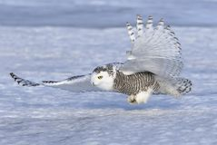 A Snowy owl Bubo scandiacus hunting over a snow covered field in Canada Stock Photo
