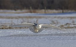 A Snowy owl Bubo scandiacus hunting over a snow covered field in Canada Stock Images