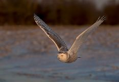 A Snowy owl Bubo scandiacus hunting over a snow covered field in Canada Royalty Free Stock Photo