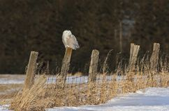 A Snowy owl Bubo scandiacus hunting from a post in Canada. Snowy owl Bubo scandiacus hunting from a post in Canada Stock Images