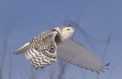 A Snowy owl Bubo scandiacus isolated against a blue sky flies high hunting over an open snowy field in Ottawa, Canada. Snowy owl Bubo scandiacus isolated against stock photos