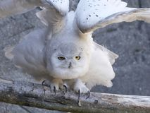 Snowy owl Bubo scandiacus Royalty Free Stock Images
