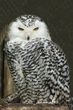 The Snowy Owl (Bubo scandiacus) is a large owl of the typical owl family Strigidae Royalty Free Stock Photos