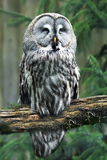 The Snowy Owl (Bubo scandiacus) is a large owl of the typical owl family Strigidae stock photo