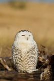 Snowy Owl (Bubo scandiacus). Stock Photos