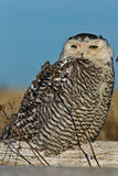 Snowy Owl (Bubo scandiacus). Royalty Free Stock Photography